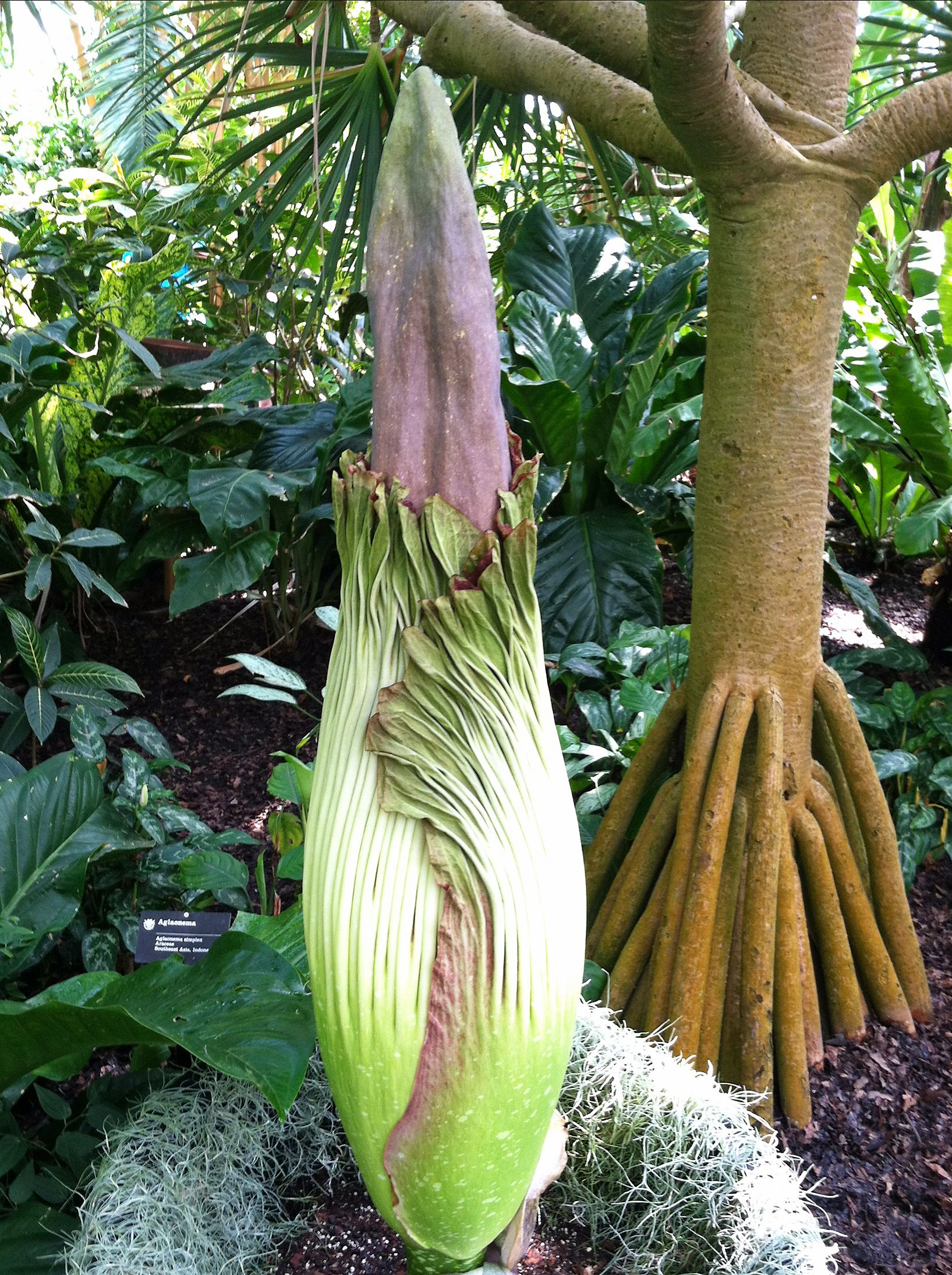 Missouri Botanical Garden Corpse Flower Amorphophallus Titanum Getting Ready To Bloom Missouri Botanical Garden Botanical Gardens Amazing Flowers