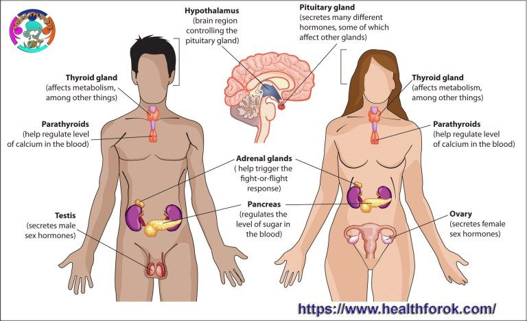 endocrine system labeled endocrine system, reproductive thyroid gland diagram labeled endocrine gland diagram labeled #4