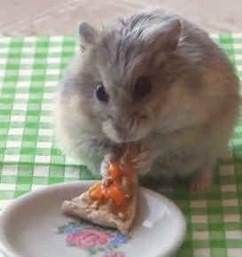 Tiny Hamster Eating A Tiny Pizza Watch The Video Www I Am Bored Com Bored_link Cfmlink_id