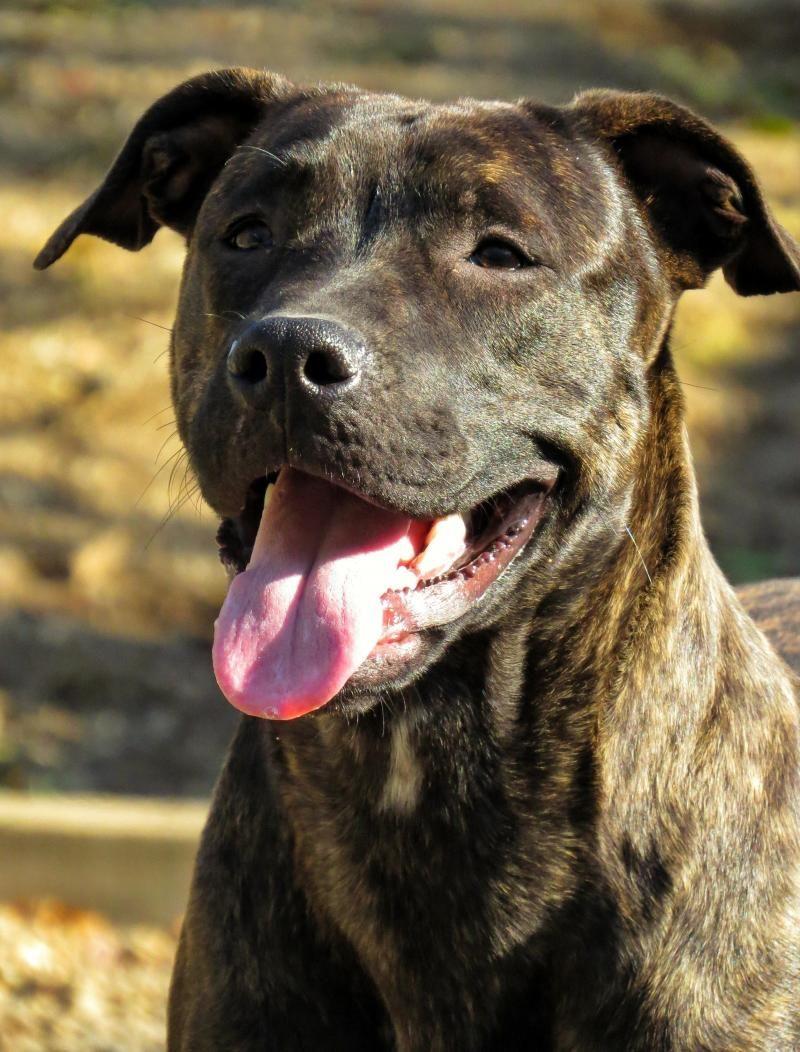 Adopt 16 490 Sydney On With Images Dog Adoption Corso Dog Cute Animal Photos