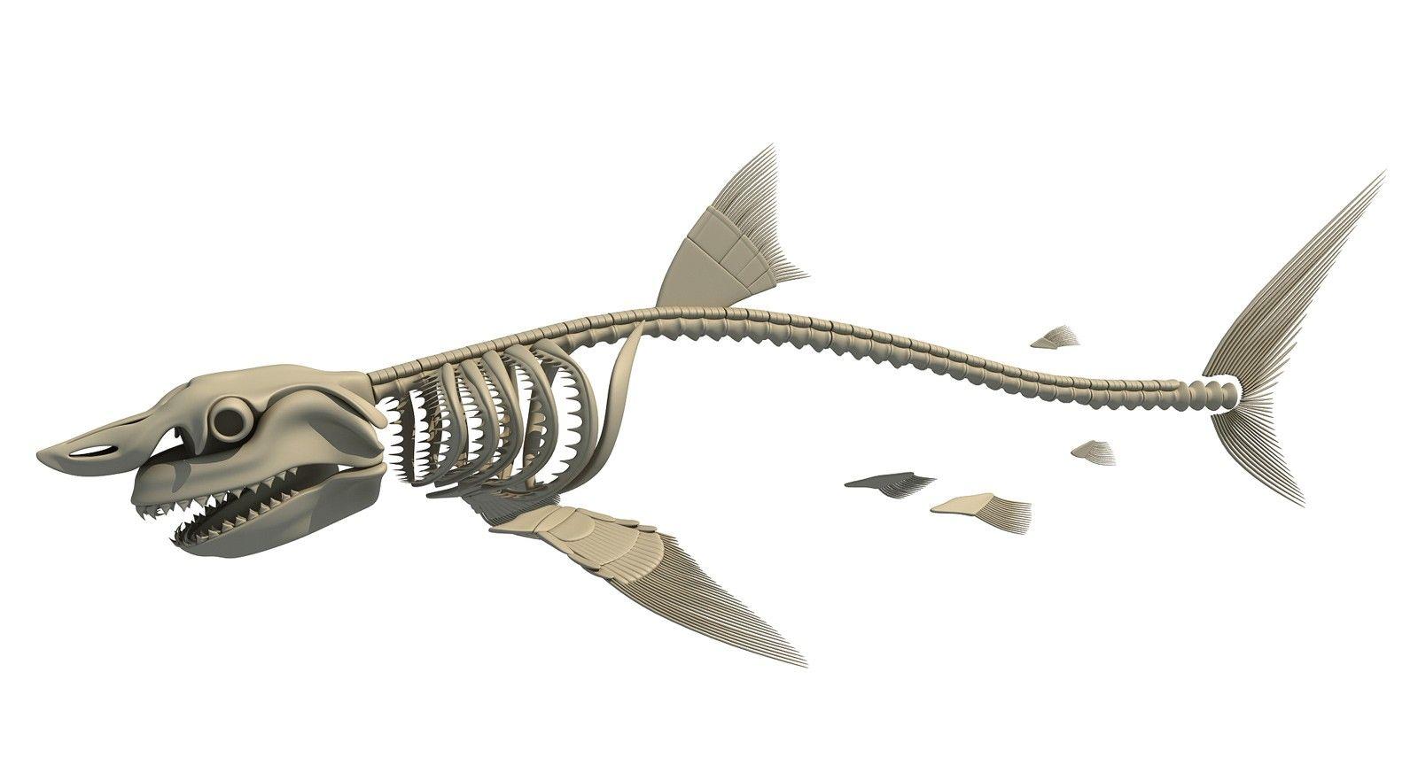 white-shark-skeleton-_1_.jpg (1600×864) | Animal Anatomy | Pinterest ...
