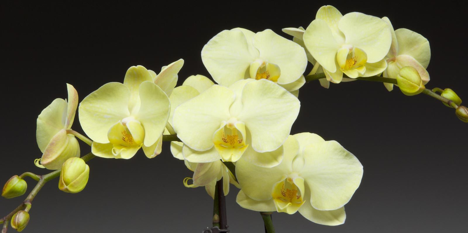 orchids gemstone the westerlay hover collection phalaenopsis infused orchid