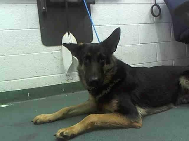 Partanan A1633230 I Am A Male Black And Tan German Shepherd Dog