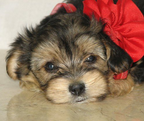 Maltese Mixed With Yorkie Puppies For Sale High Definitionwwwohpuppylovecom Morkie Shorkie Maltipoobreederpuppies Zxv87ldh Jpg Puppies Morkie Puppies For Sale
