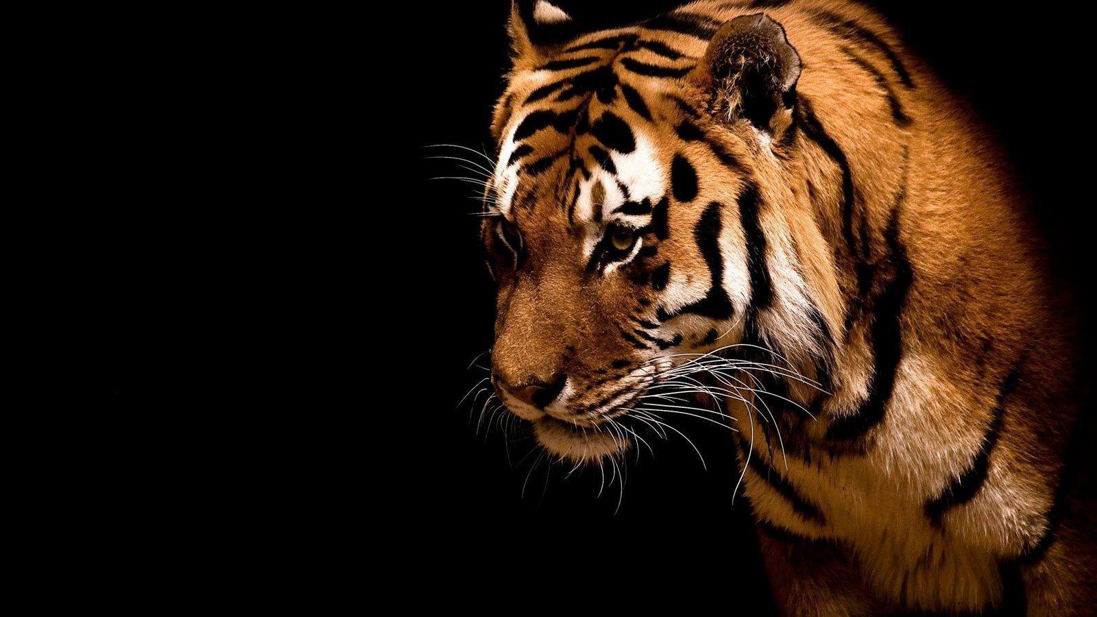 Majestic Tiger On Black Background