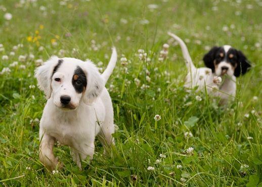 Northwoods Bird Dogs English Setter Pointer Puppies For Sale Pointer Puppies Puppies For Sale Puppies