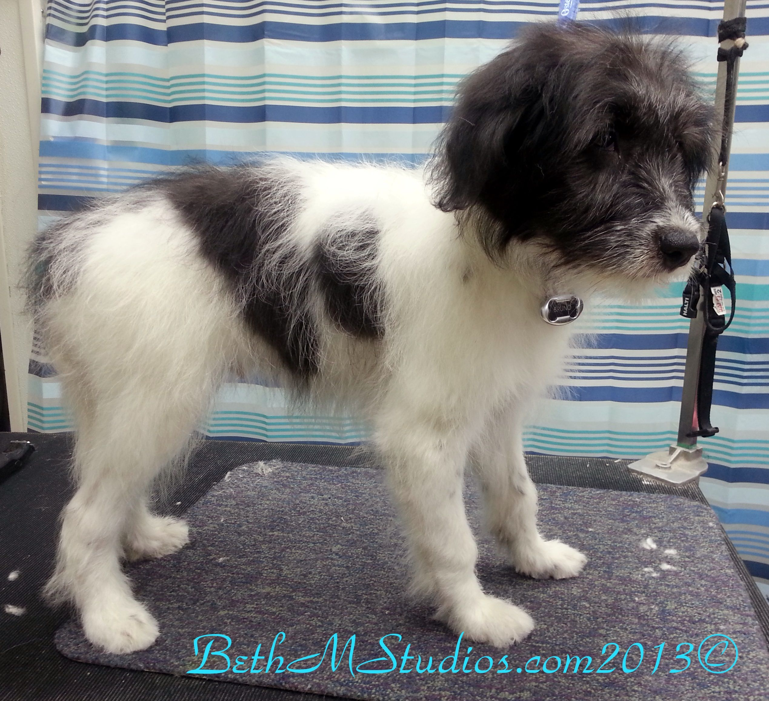 Bruno 4 Month Old Border Collie Poodle Mix First Full Bath And Brush Http Www Gooddogsspaandstudio Com Border Collie Poodle Mix Puppies Dog Spa