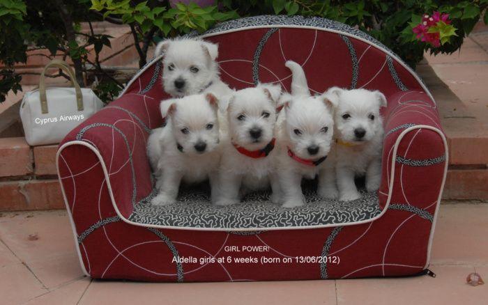 West Highland White Terriers Cyprus Westies Westie Puppies Westie Dogs West Highland White Terrier