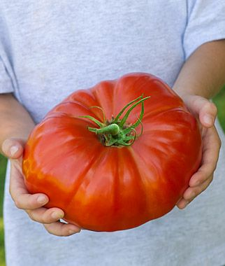 Tomato Lovers Check This Out! SteakHouse - The world's largest beefsteak. Big news in the tomato patch! Meet the biggest tomato ever bred. And it's not just bigger but better. Tipping the scales at up to three lbs. plus!