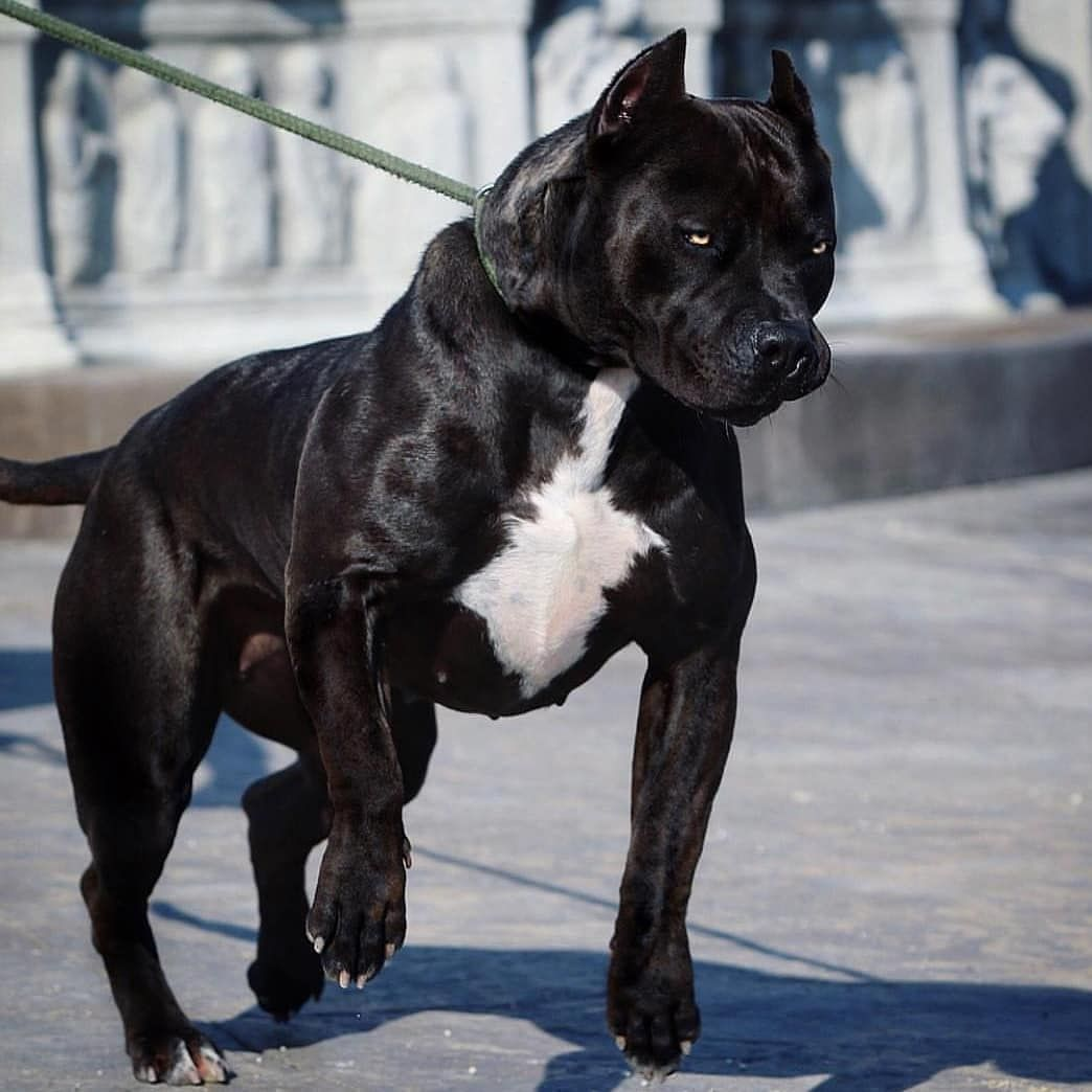 Do U Like Black Babe Follow Pitbull Magazine For More Awesome Photos Tag Your Friends Pitbull Terrier Puppies Pitbulls