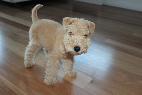 Lakeland Terrier Want This Pup Cute Dogs Wire Fox Terrier Lakeland Terrier