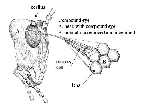 Anatomy Of A Dragonflys Eye Showing The Individual Facets Or