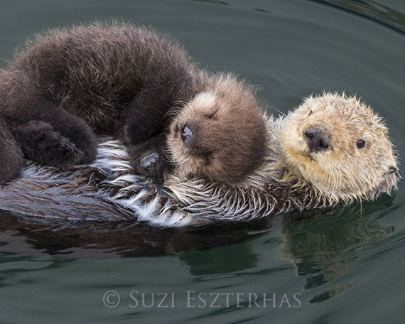 Photo of BABY SEA OTTER and Mom Photo / Baby Animal Nursery Art / Animal Nursery Decor / Baby Animal Photo / Animal Wall Art / Sea Otter