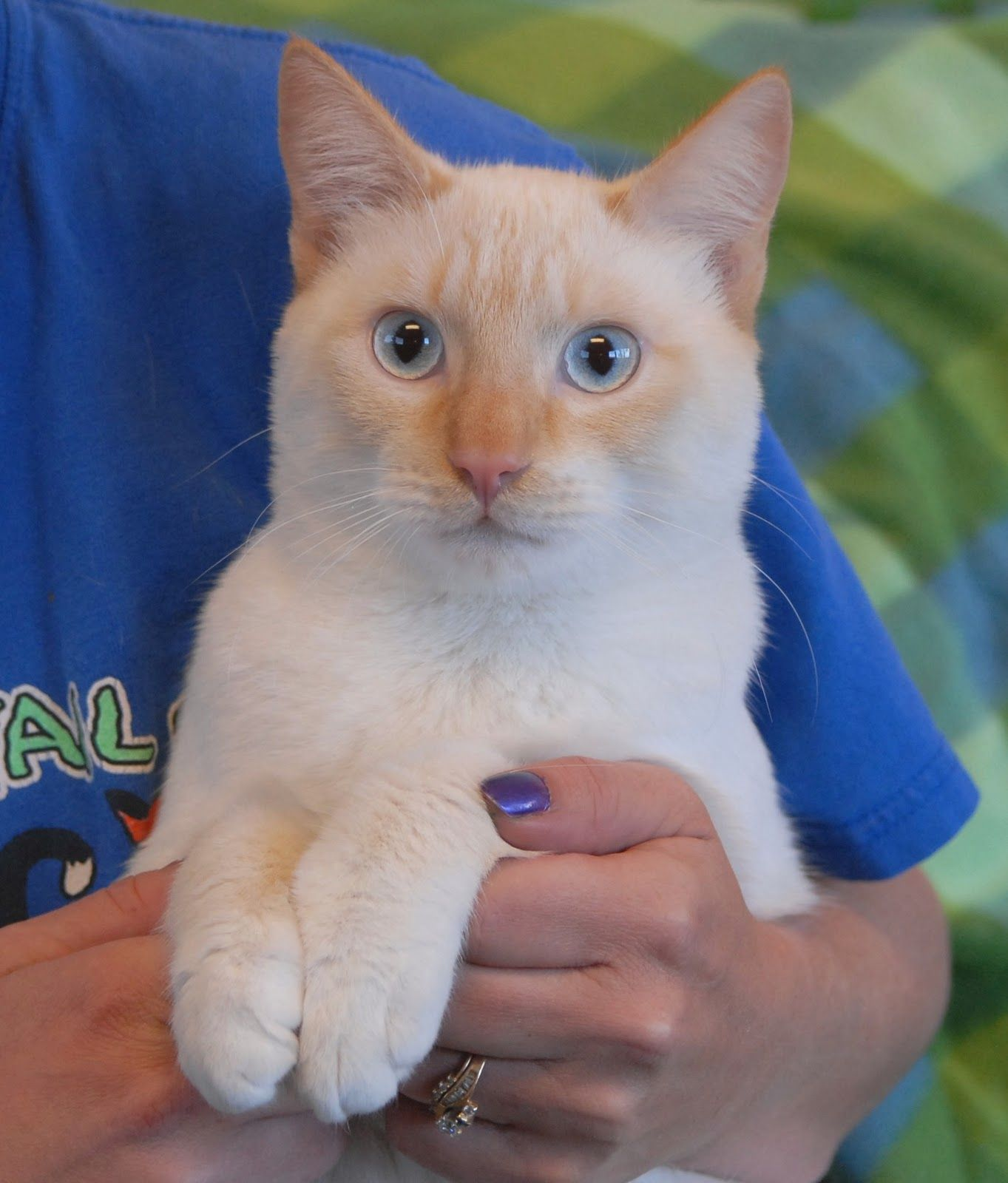 personality of flame point siamese cats Google Search