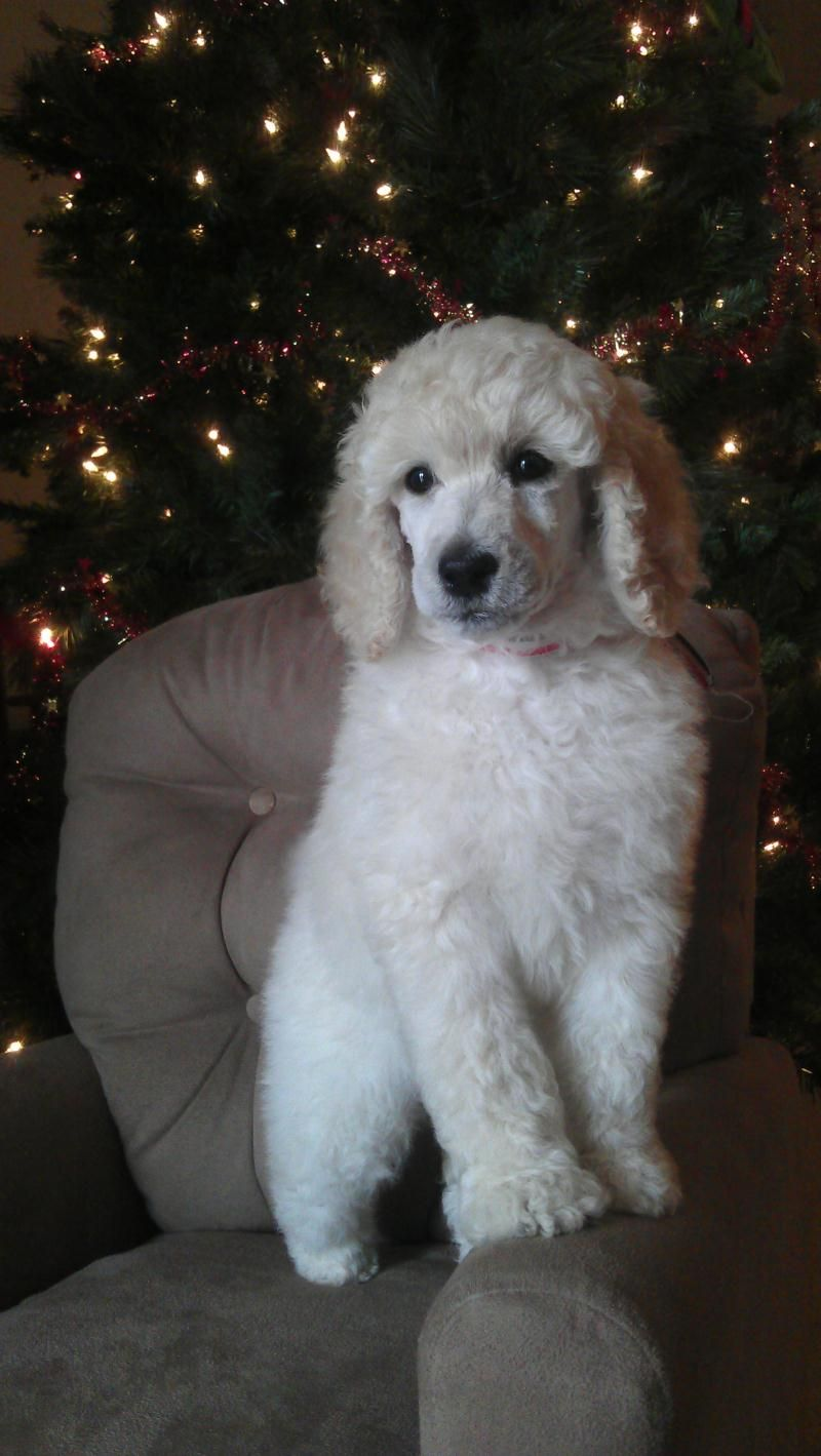 Standard Poodle Puppies Poodle Poodle Puppies For Sale Cute Dogs
