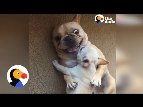 Hilarious French Bulldog Gets New Baby Brother Video The Dodo