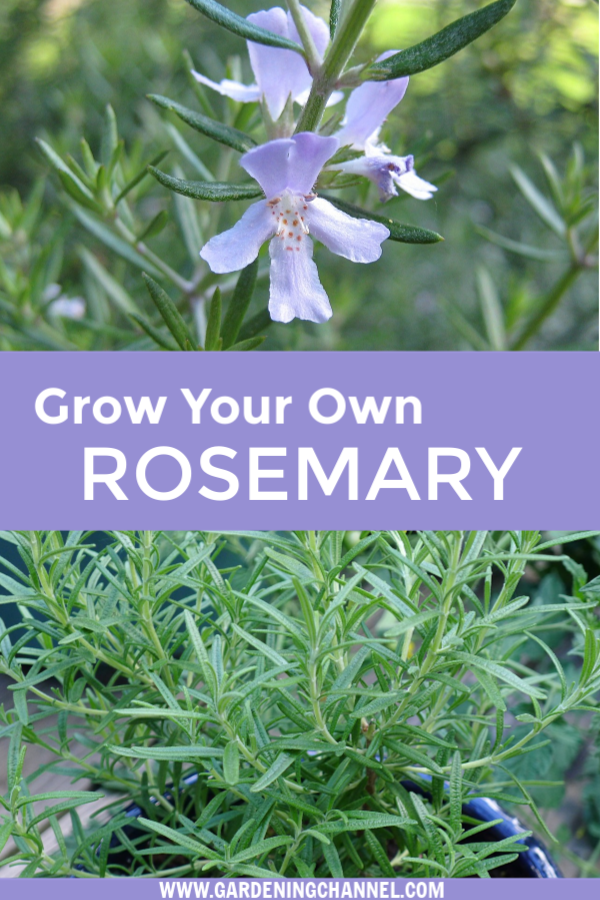 Diy Growing Rosemary Indoor And Outdoor Growing Rosemary Rosemary Herb Rosemary Plant