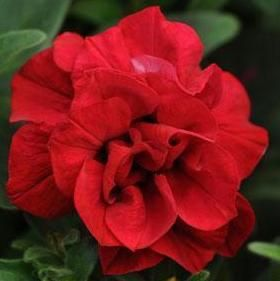Double Wave™ Red Petunia