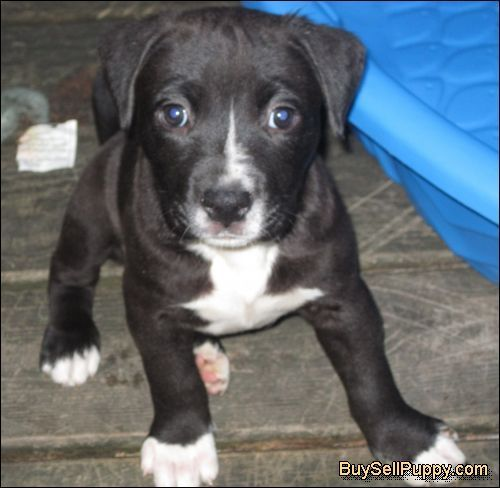 Pitbull Mix Dogs American Bulldog Pitbull Mix Puppy Dog