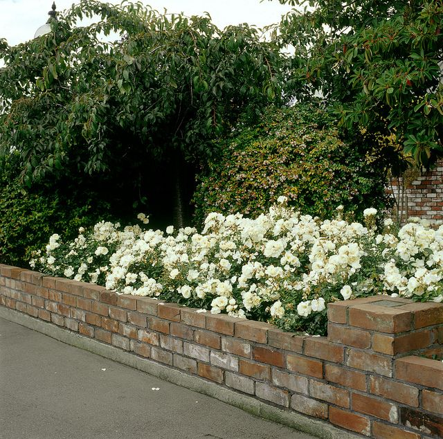 Flower carpet roses white atop brick wall flower carpet roses flower carpet roses white atop brick wall mightylinksfo