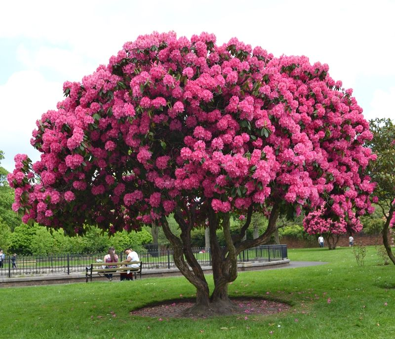 rhododendron tree pictures beautiful garden pinterest. Black Bedroom Furniture Sets. Home Design Ideas