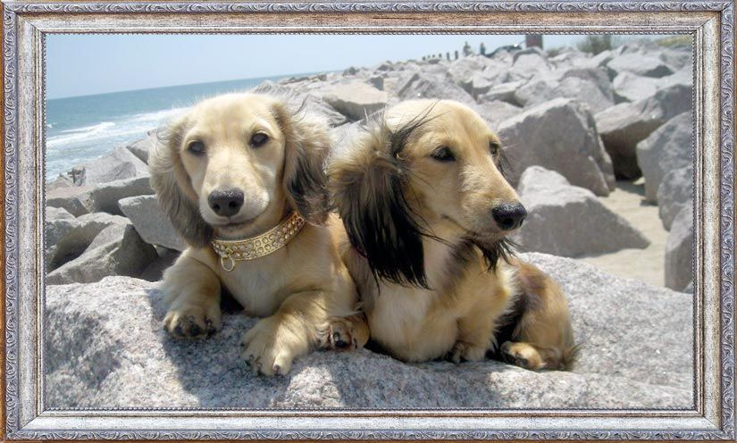 Kennel Free Dachshunds Puppies From Wilmington Nc Puppies