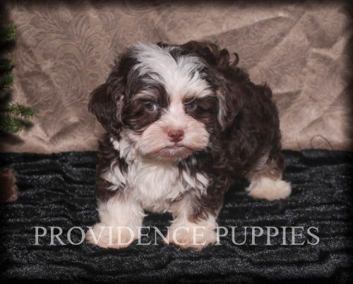 Havanese Puppy For Sale In Wayland Ia Adn 53069 On Puppyfindercom