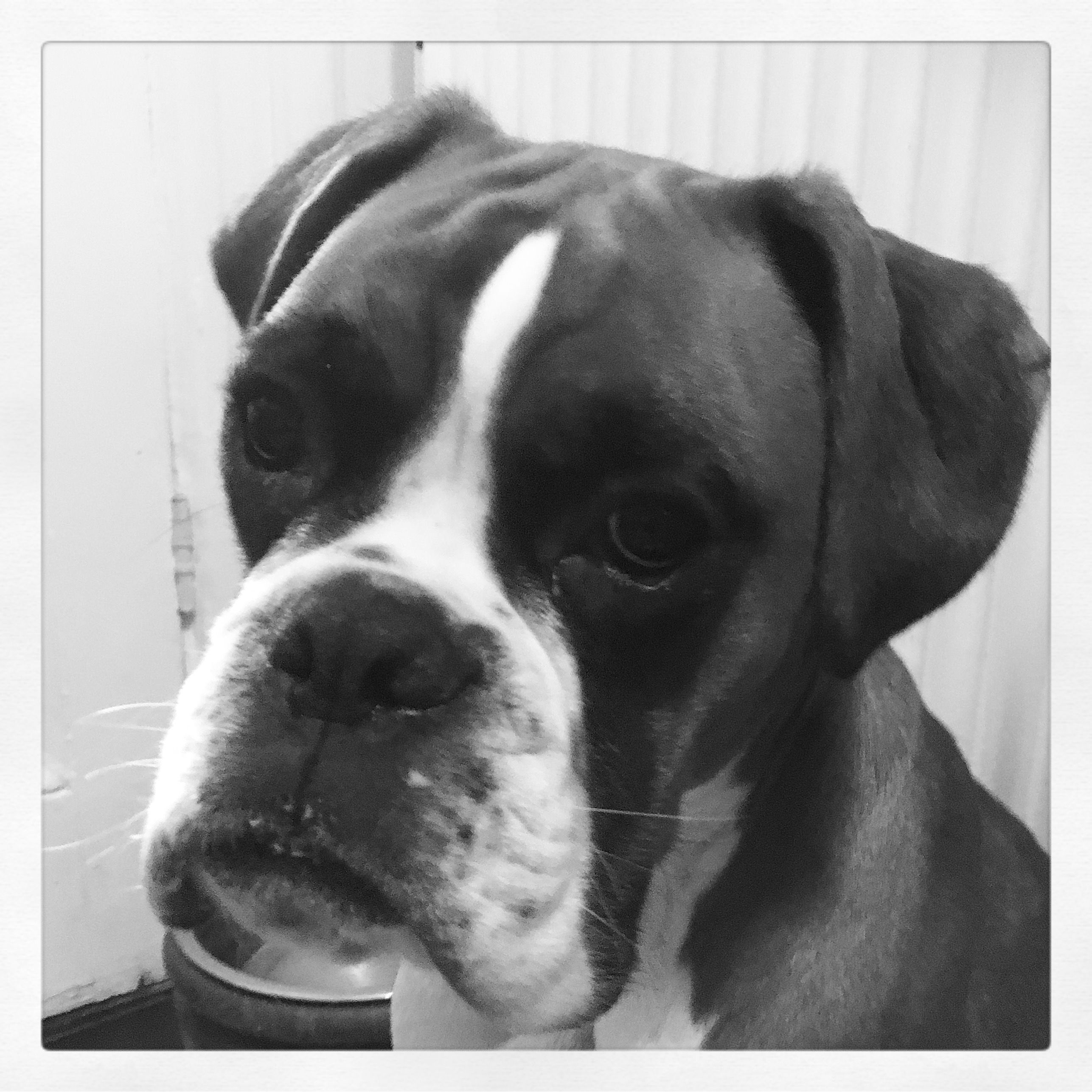 Pin by Debbie Fleming on Boxer Boxer dogs, All breeds of