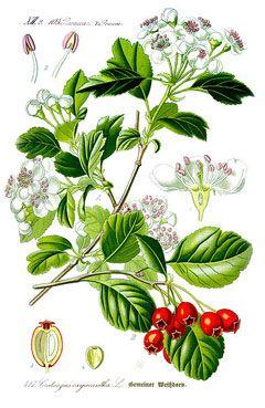 Crataegus laevigata. arbusto 6m. comestible