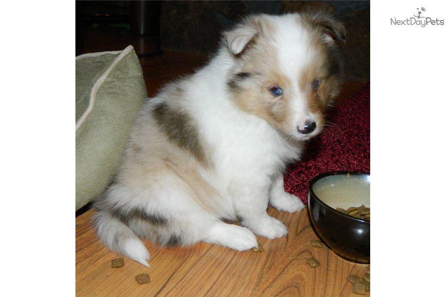 Meet Male A Cute Shetland Sheepdog Sheltie Puppy For Sale For 900