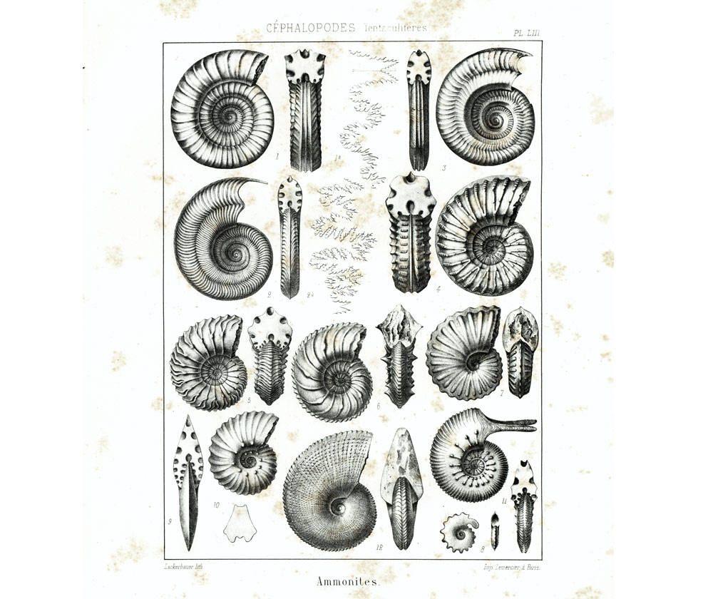 1853 Corail Fossiles Gravure Originale Planche Ancienne Etsy Antique Prints Paleontology Etsy