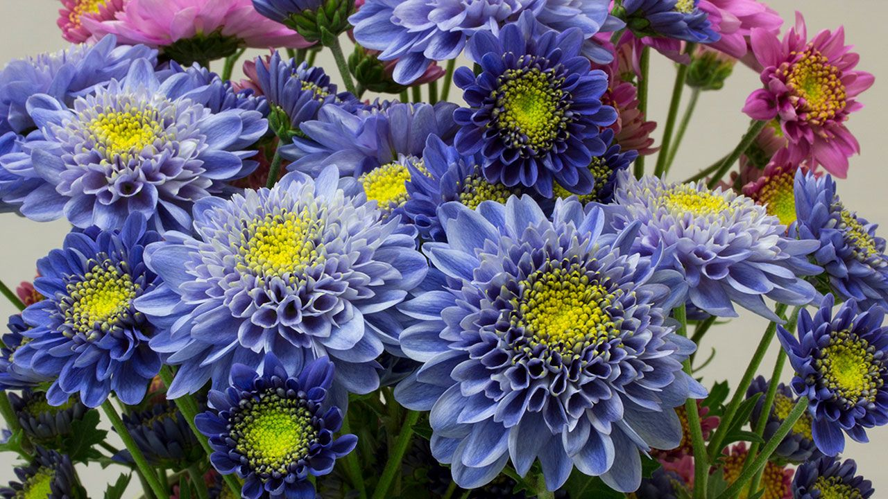 Scientists Genetically Engineer The World S First Blue Chrysanthemum Chrysanthemum Flowers Petals Blue Flower Wallpaper