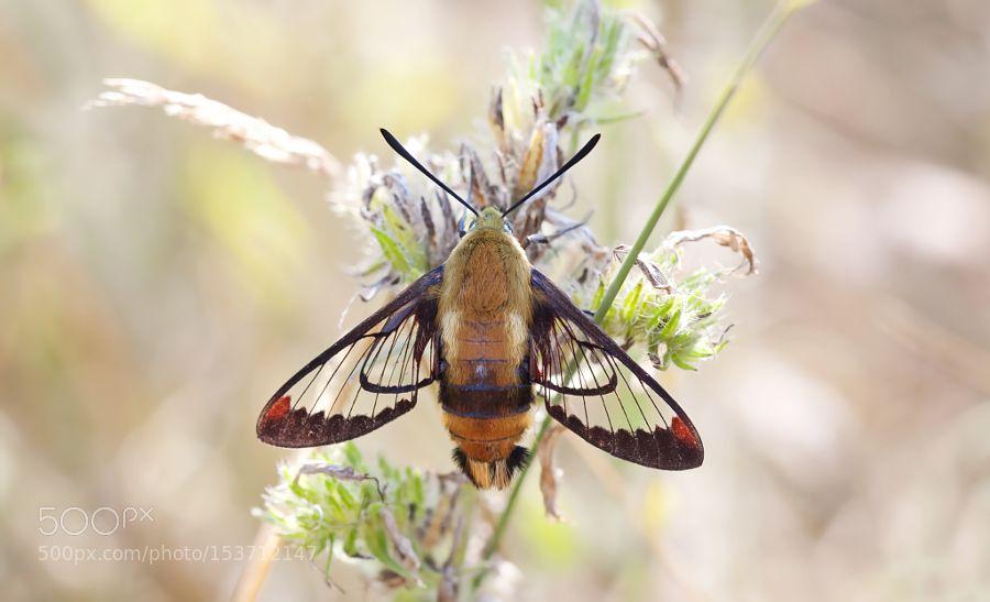 Hummingbird Clearwing Moth by JimCumming nature