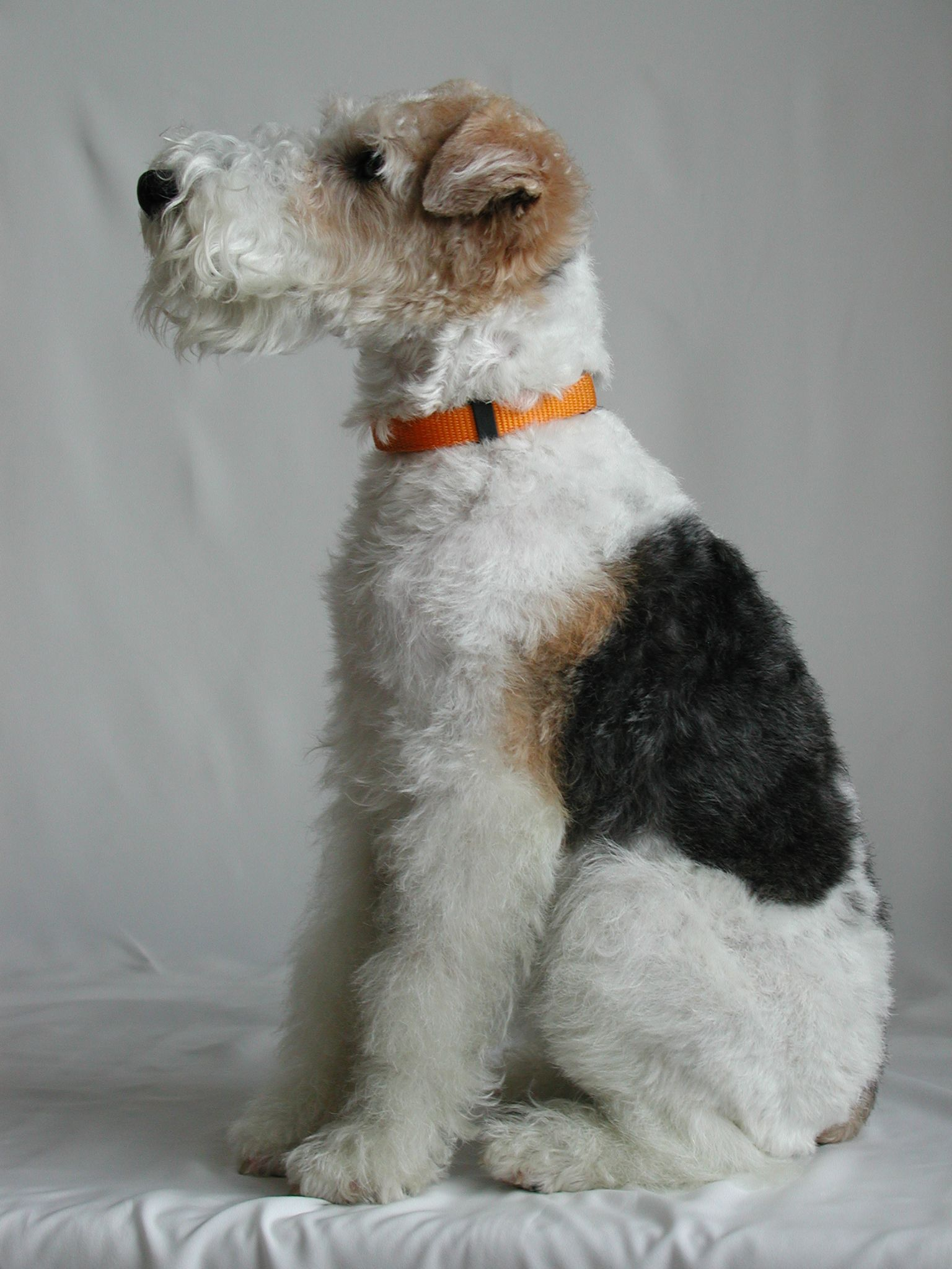 Tri-color Wire Hair Fox Terrier. My favoritest dog of all dogses in ...