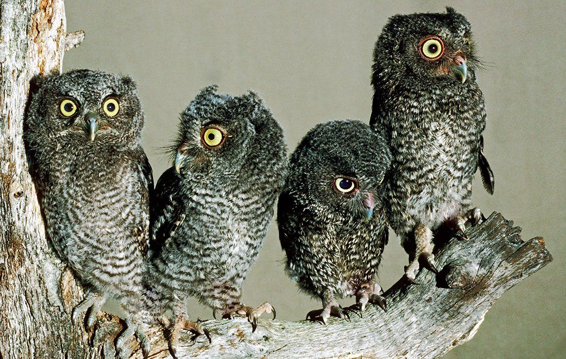 How To Attract Owls To Your Yard Owl Nesting Screech Owl Owl