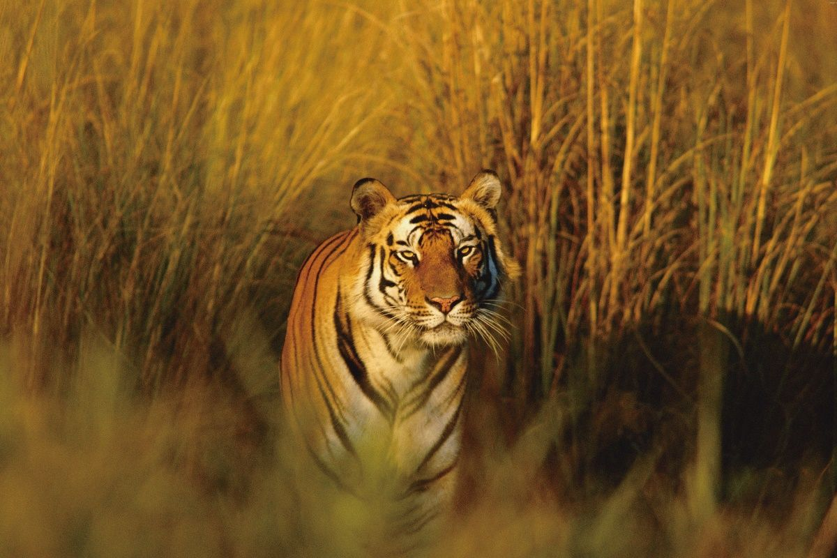 Image result for bengal tiger in natural habitat