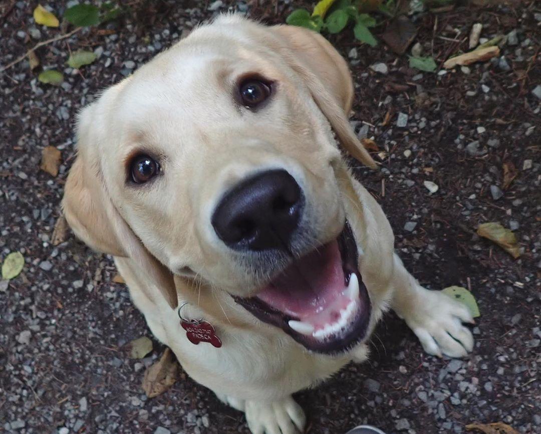 If You Love Labradors Visit Our Blog Labrador Labradorretriever Labradorcentral Retriever Labradors Retrievers Labrador Dog Labrador Labrador Retriever