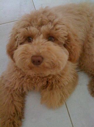 Bailey - Ginger's F1 Mini Goldendoodles