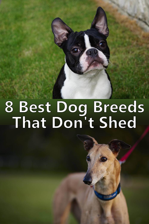 8 Best Dog Breeds That Don T Shed Dog Breeds That Dont Shed Low Shedding Dogs Low Maintenance Dog Breeds