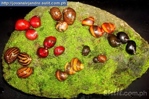 how to remove snails from tropical fish tank