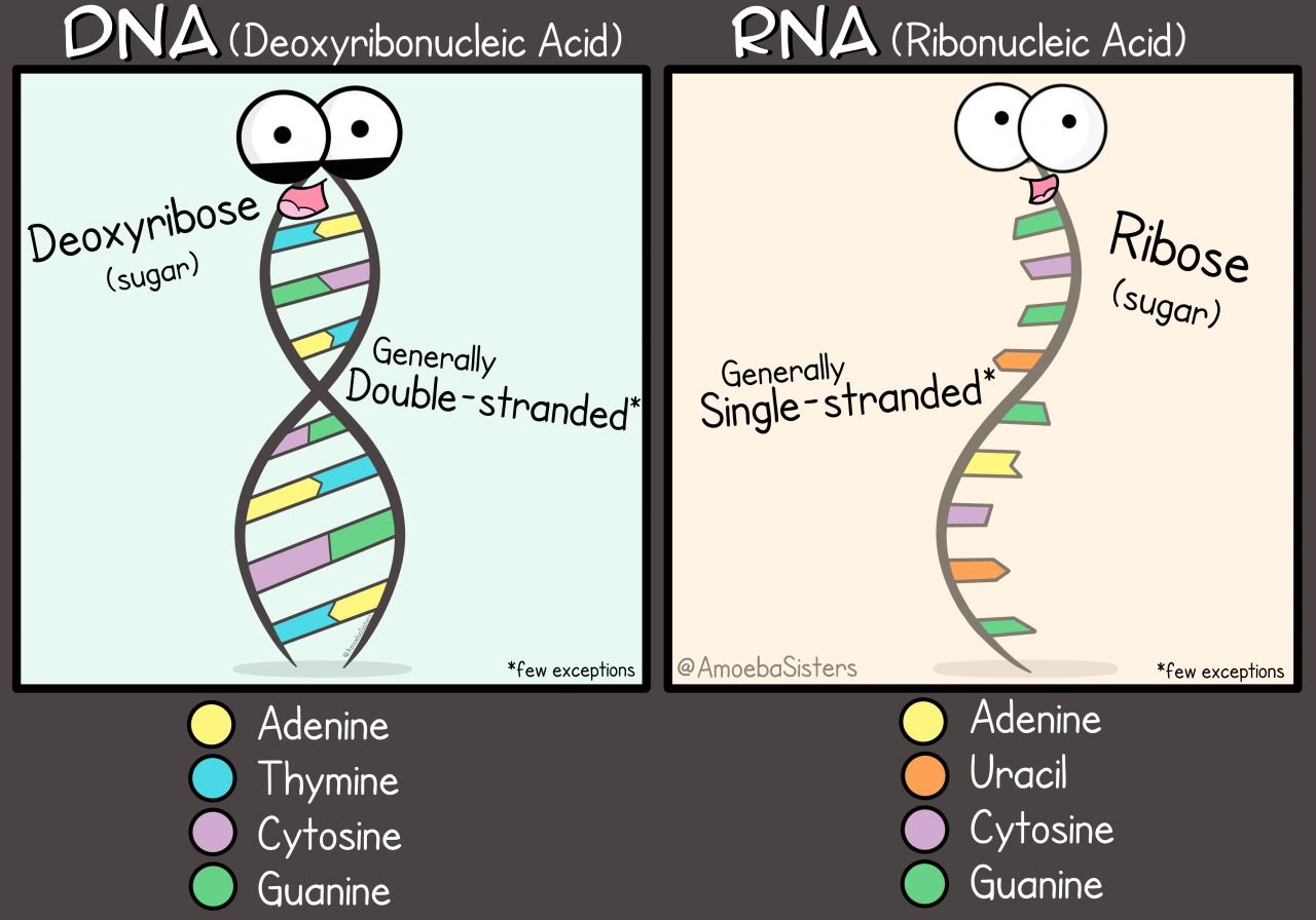 Structure Of Dna And Rna The A Level Biologist Manual Guide