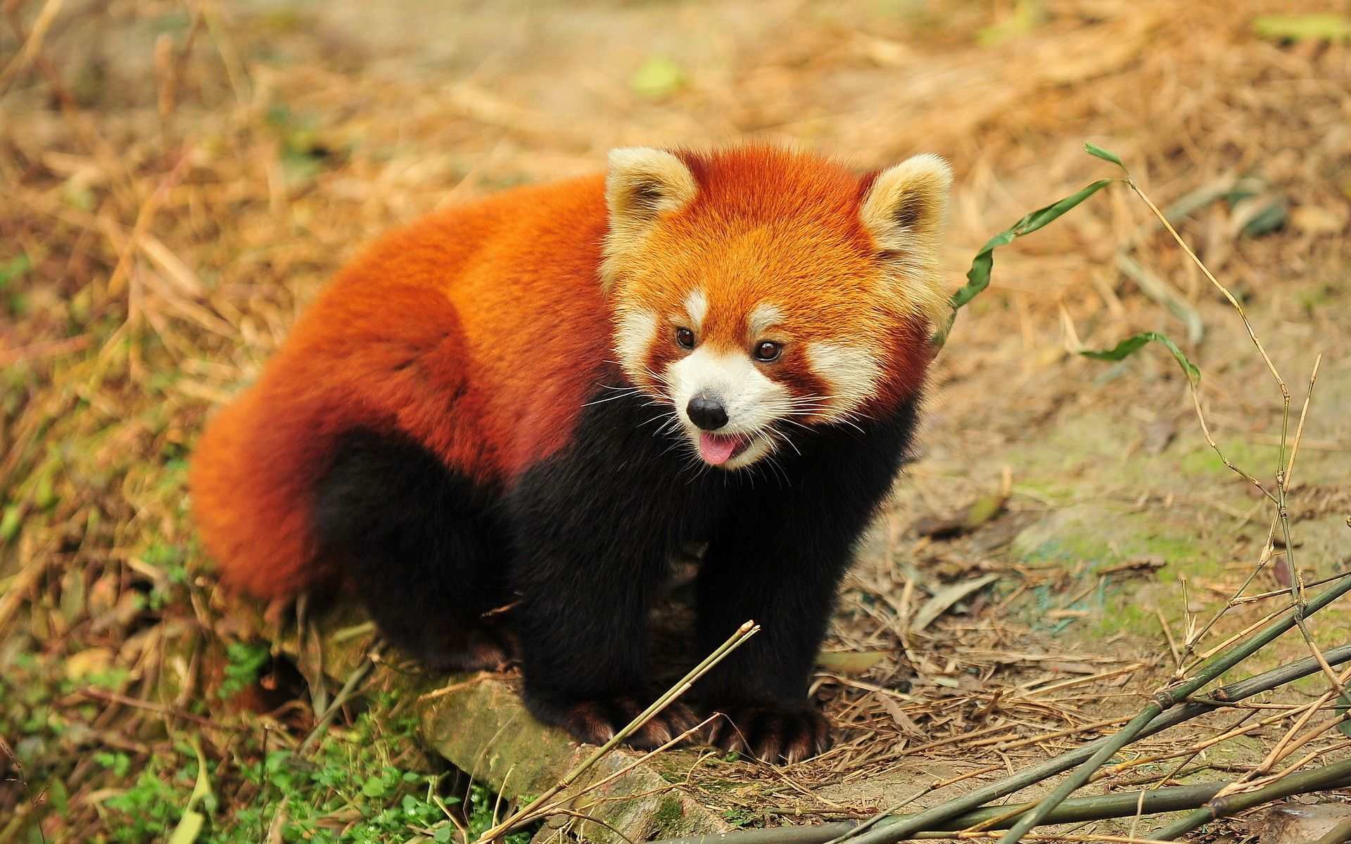 Cute Red Panda Desktop Background HD 1920x1200 deskbg
