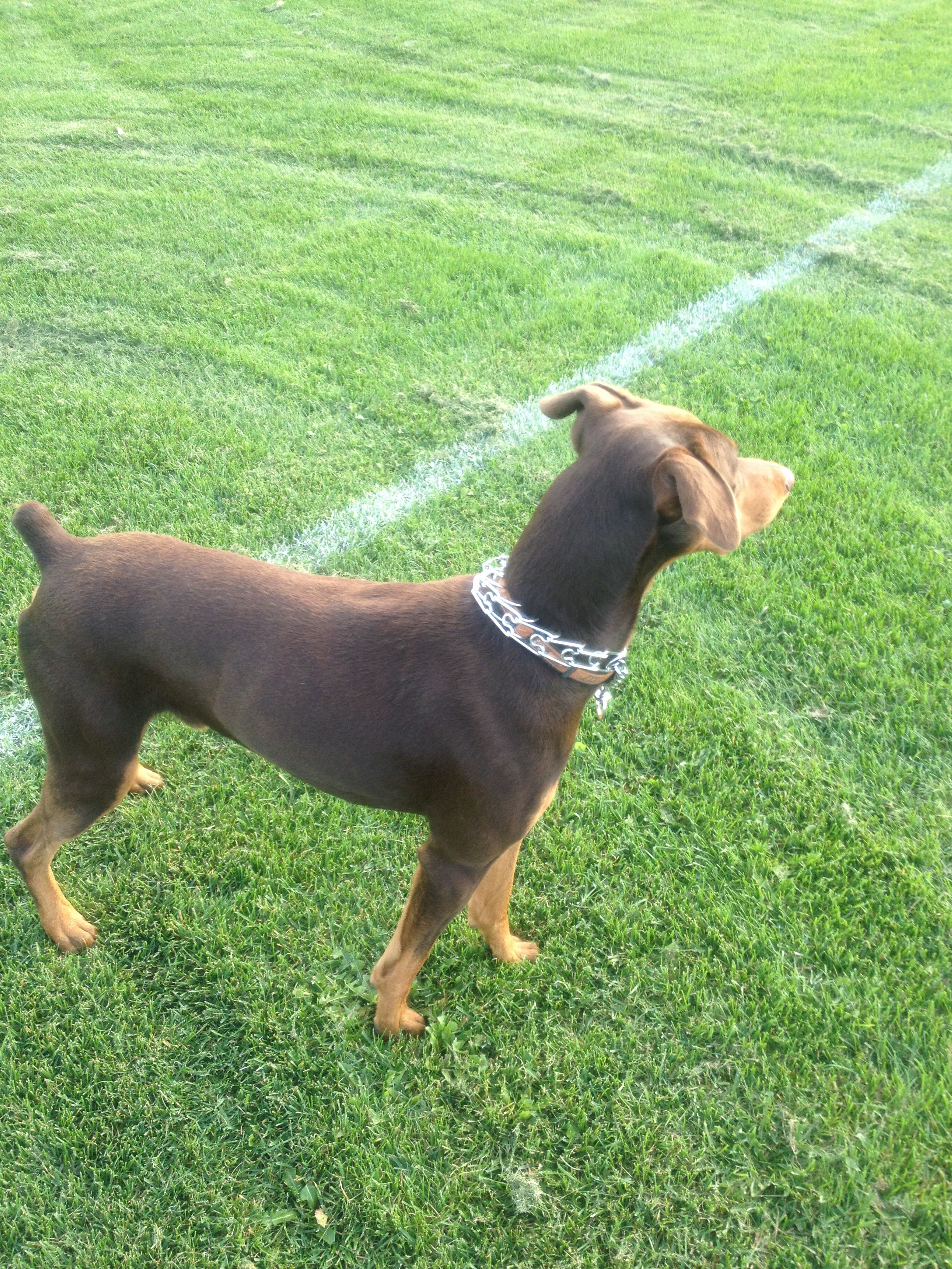 Red Doberman - natural ears , year and a half