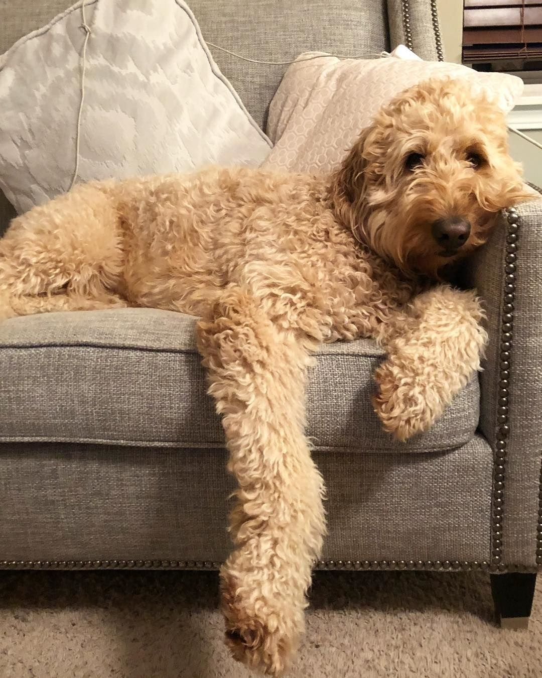 Labrador Retriever and Poodle Mix - The Complete Labradoodle Guide