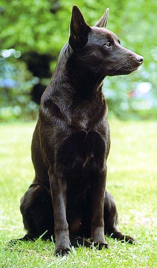 Australischer Kelpie - Google Search   Dog breeds, Dogs
