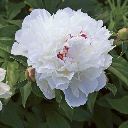Best Fragrant Perennials – Northern Plains - 'Festiva Maxima' peony