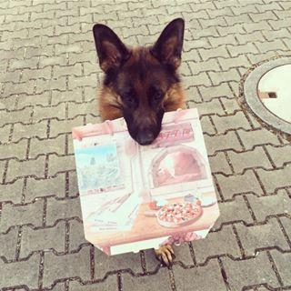 Heute gab's Pizza 🍕😄 #hund #gsd #gsdlove #gsdofig #gsdofinstagram #deutscherschäferhund #instadog #dogsofinstagram #meinhund #dogblog #herzenshund #photooftheday #schäferstunde #hundeblog #schäferhund #ilovemydog #hundeliebe #gsdofigworld #pizza #pizzaboy