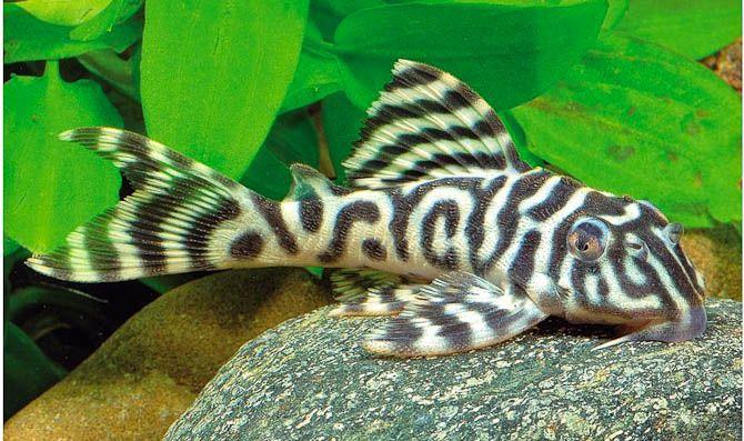 404 Not Found Aquarium Fish Freshwater Aquarium Fish Tropical Fish