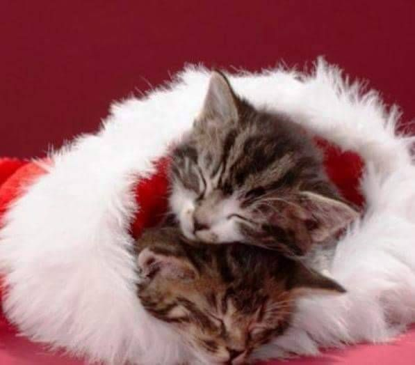 Pin By Liz On Cats Christmas With Images Kittens Cutest Beautiful Cats Cute Cats