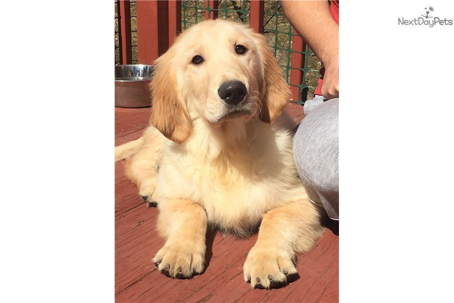 Melman Golden Retriever Puppy For Sale Near Youngstown Ohio F0cf63cc 0a11 Golden Retriever Dogs Golden Retriever Golden Retriever Puppy